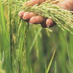 Plantación de arroz- BAGSA