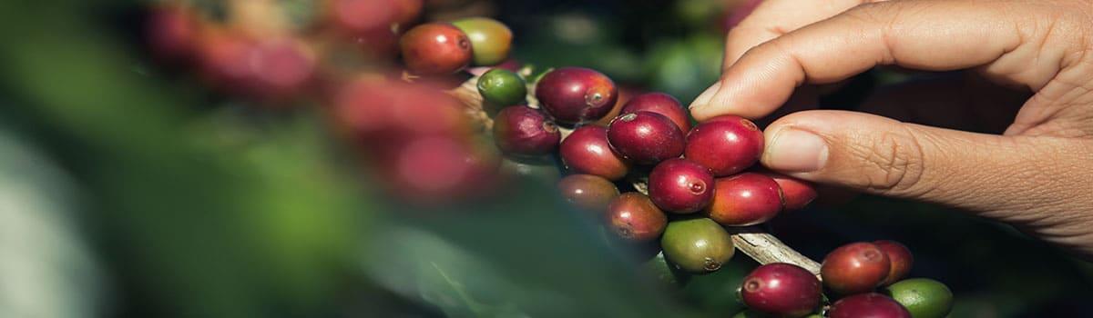 granos de café- BAGSA