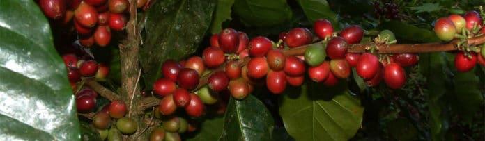 CAFE NICARAGUA-BAGSA
