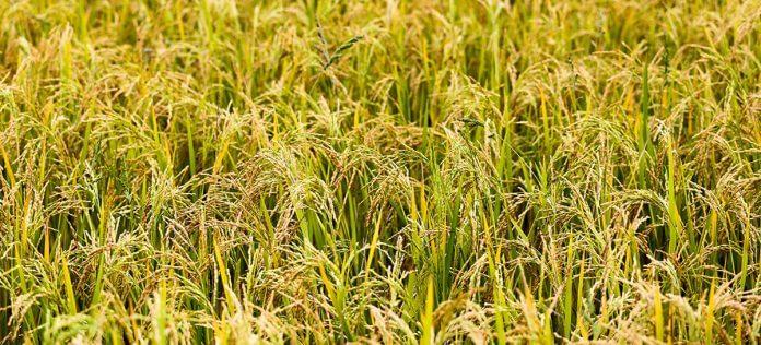 Arroz- Laboratorio de granos y semillas- BAGSA